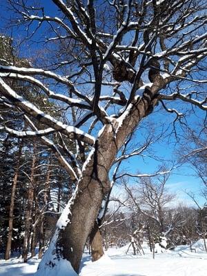 北海道神宮の自然