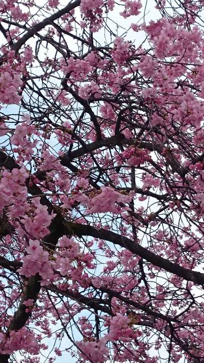 富士山本宮浅間大社(静岡県富士宮駅) - 自然の写真