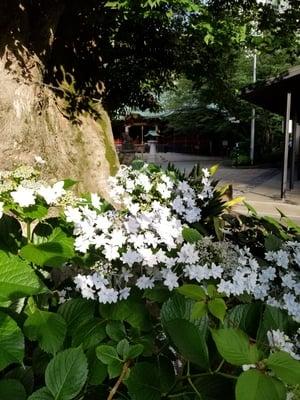 辯天宗東京本部の近くの神社お寺|金王八幡宮