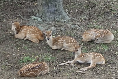 春日大社の動物