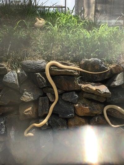 岩国白蛇神社の動物